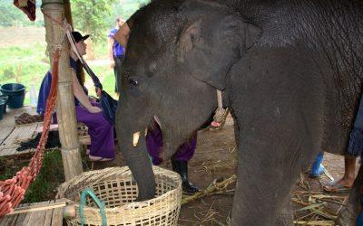 Un día con elefantes en Chiang Mai