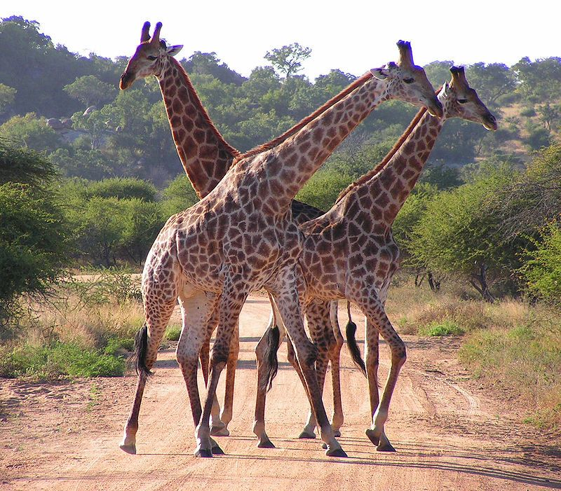 800px-South_African_Giraffes,_fighting