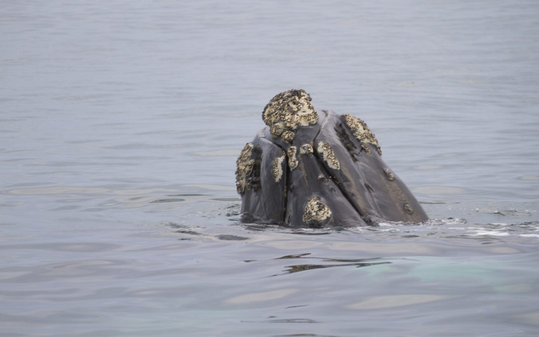 Sudáfrica: ballenas en Hermanus