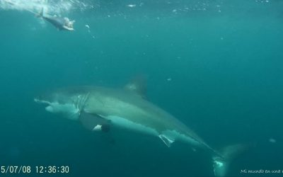 Sudáfrica: ver al tiburón blanco