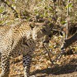 Parque Nacional Kruger: Satara