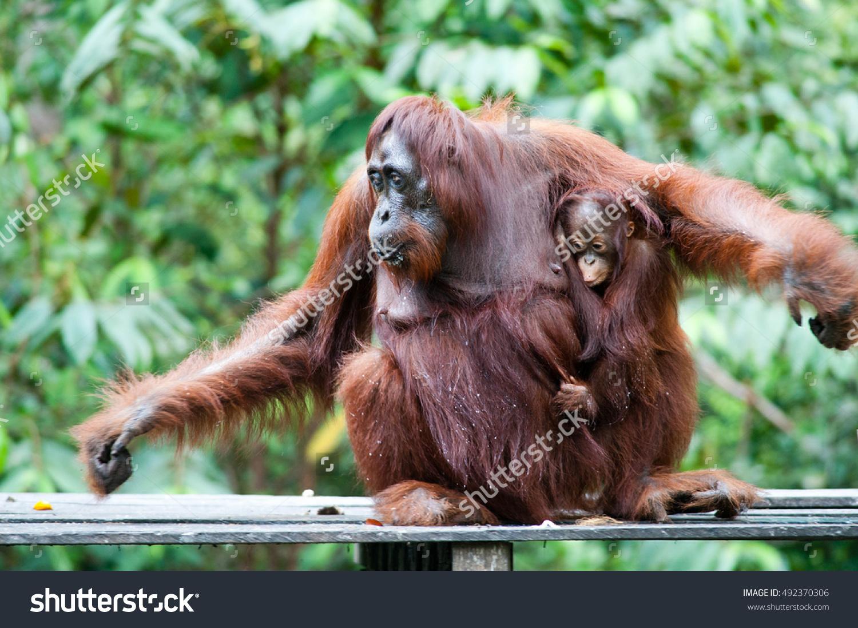 stock-photo-orangutan-and-her-orangutan-baby-in-tanjung-puting-national-park-kalimantan-492370306