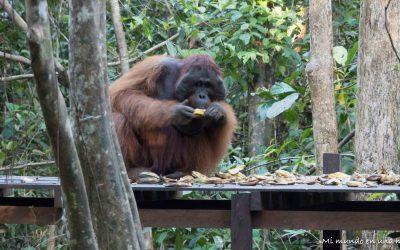 Ver orangutanes en Borneo: Tanjung Puting NP ( I ).
