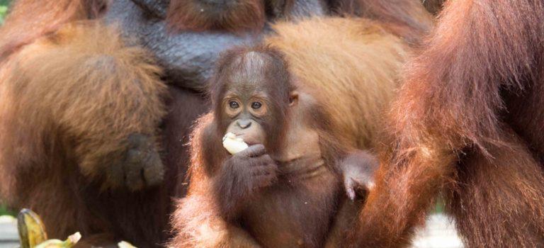 Ver orangutanes en Borneo: Tanjung Puting ( II ).