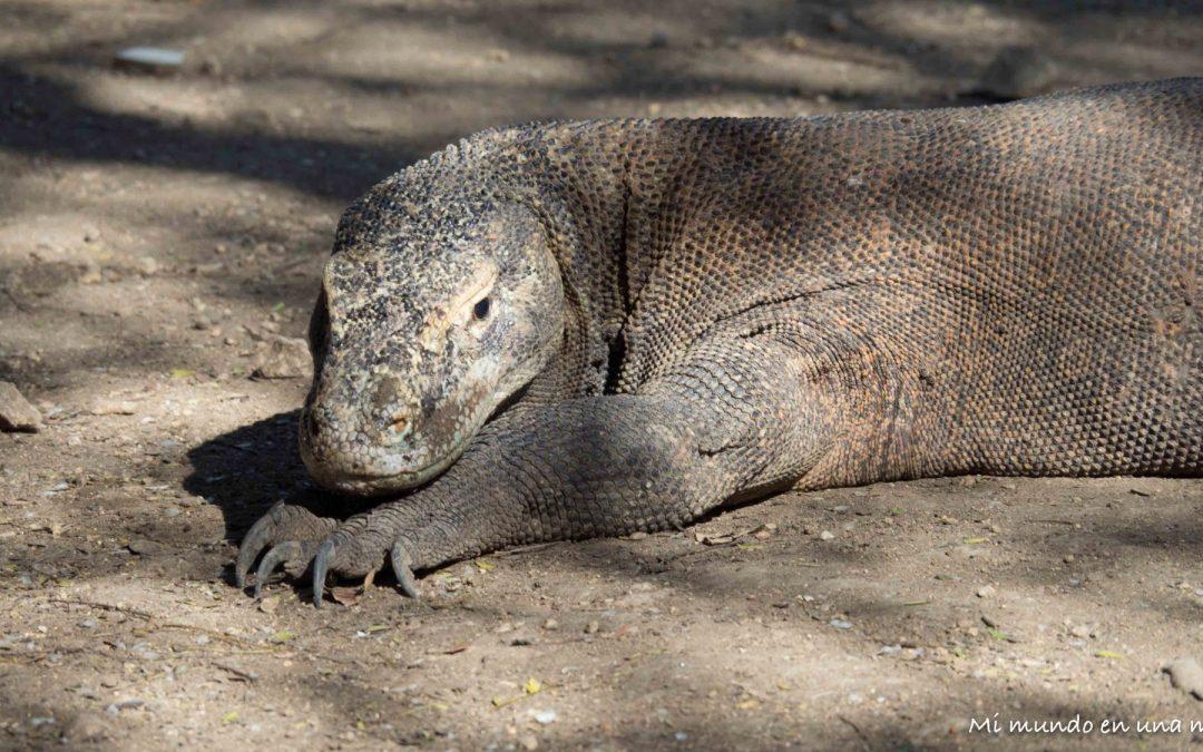 Qué ver en Flores: el dragón de Komodo.