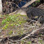 Visitar los Everglades en Florida.